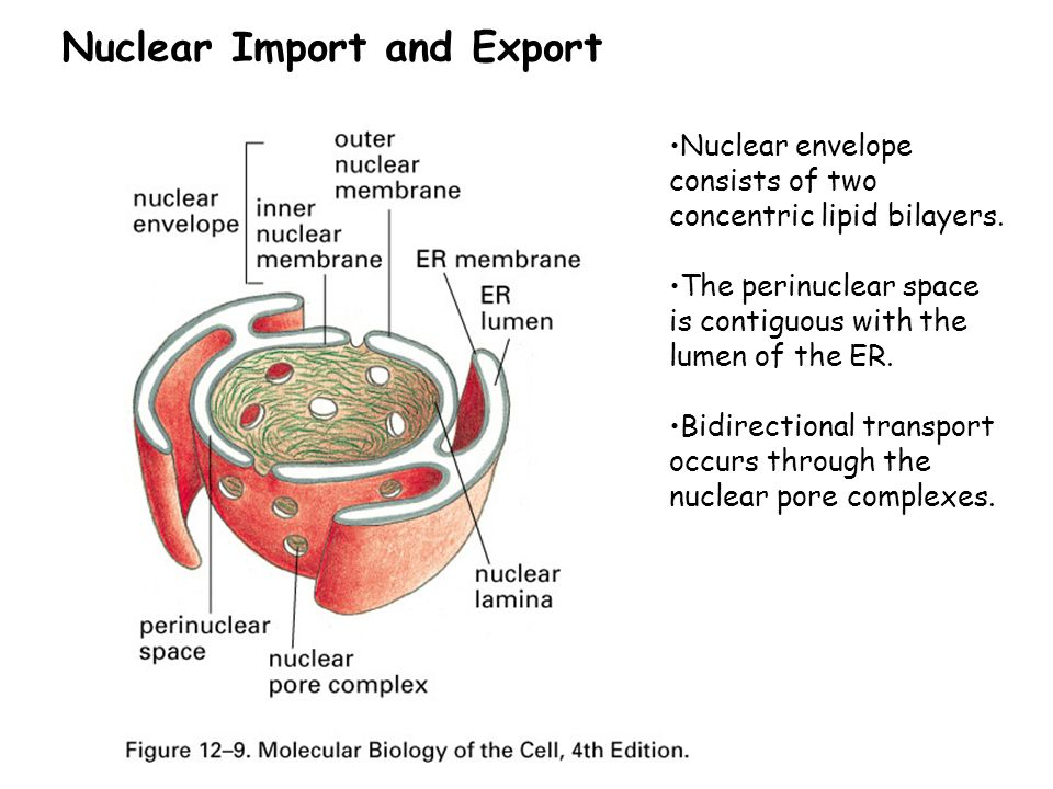 Nuclear Import and Export