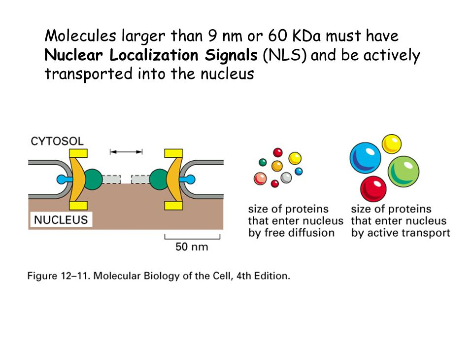 Molecules larger than 9 nm or 60 KDa must have Nuclear Localization Signals (NLS) and be actively transported into the nucleus