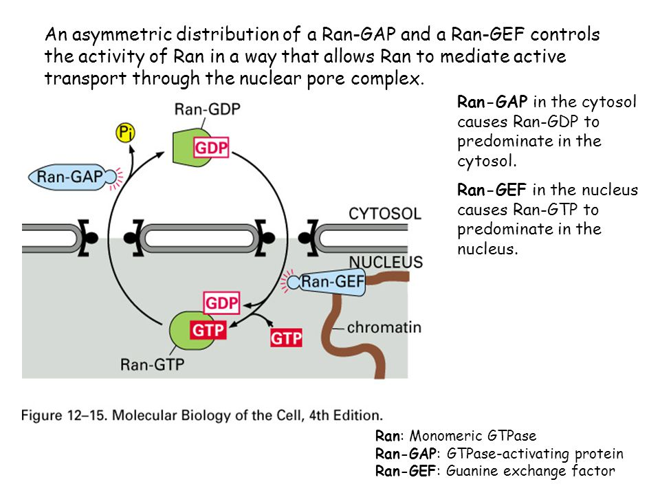 An asymmetric distribution of a Ran-GAP and a Ran-GEF controls the activity of Ran in a way that allows Ran to mediate active transport through the nuclear pore complex.