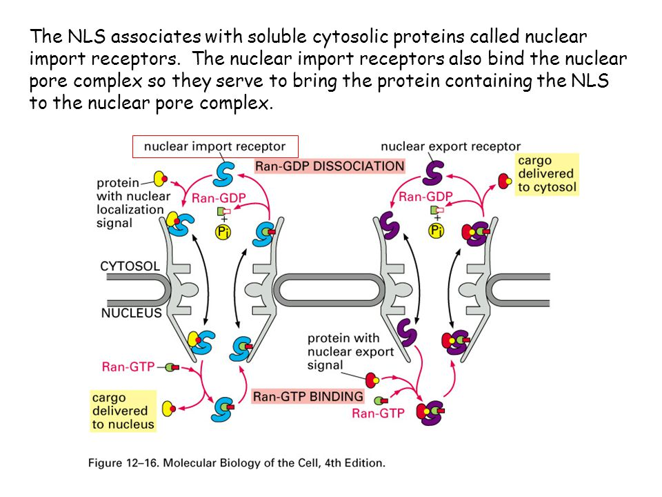 The NLS associates with soluble cytosolic proteins called nuclear import receptors.