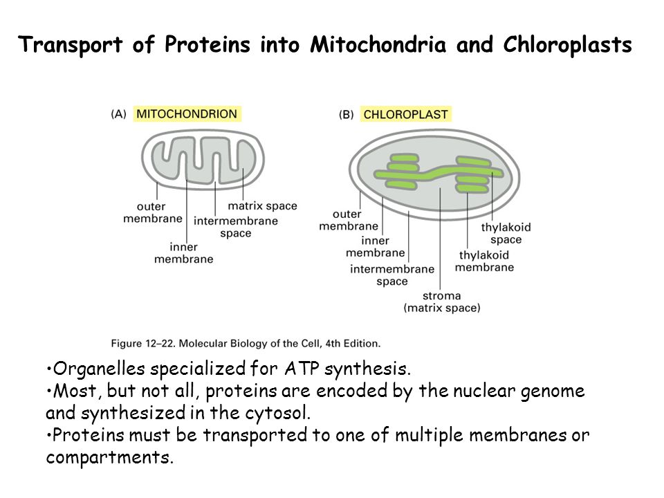 Transport of Proteins into Mitochondria and Chloroplasts