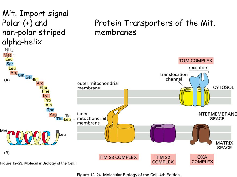 Mit. Import signal Polar (+) and Protein Transporters of the Mit.
