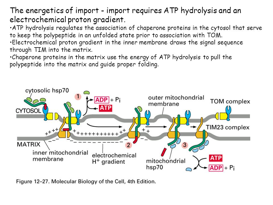 The energetics of import - import requires ATP hydrolysis and an electrochemical proton gradient.