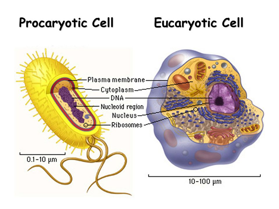Procaryotic Cell Eucaryotic Cell