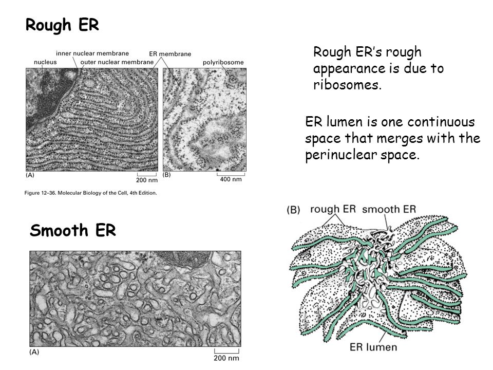 Rough ER Smooth ER Rough ER's rough appearance is due to ribosomes.