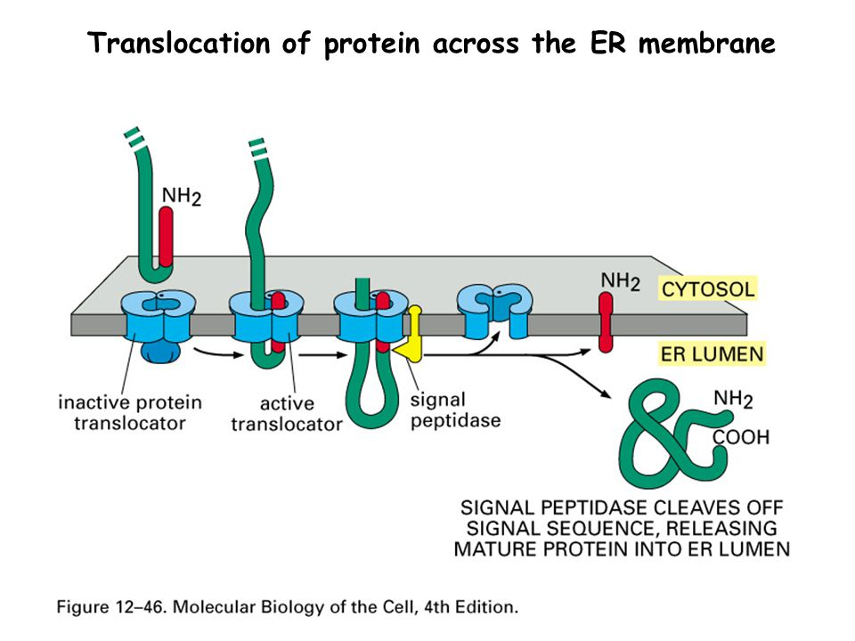 Translocation of protein across the ER membrane