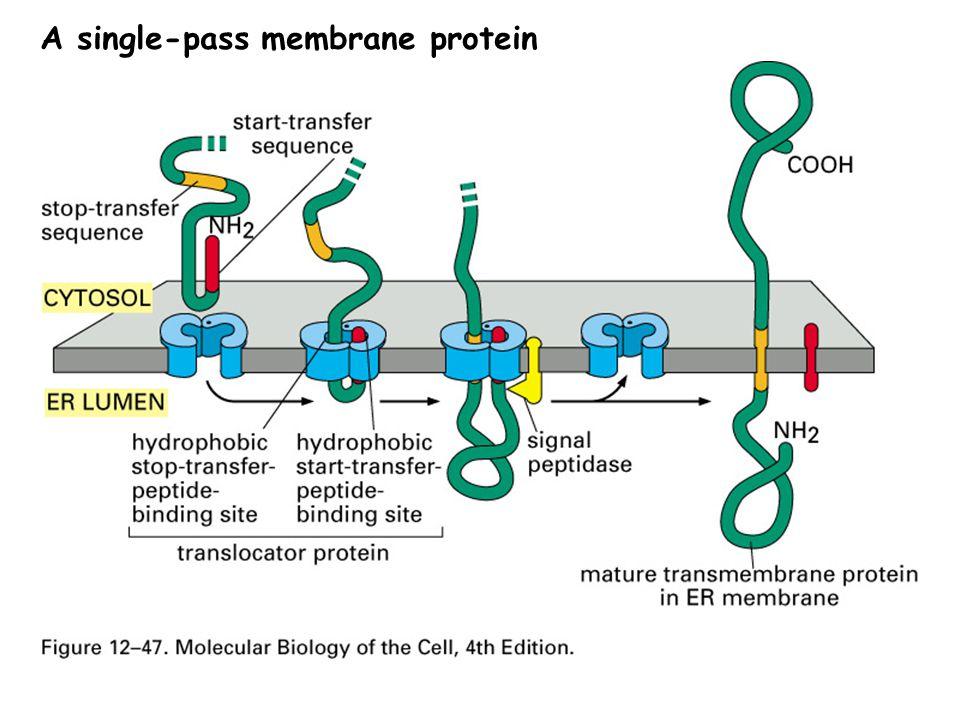 A single-pass membrane protein