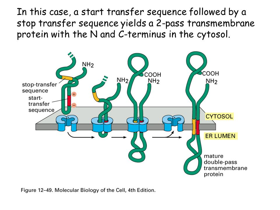 In this case, a start transfer sequence followed by a stop transfer sequence yields a 2-pass transmembrane protein with the N and C-terminus in the cytosol.