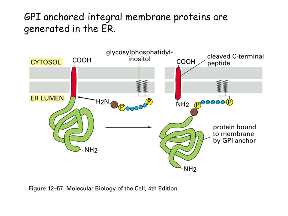 GPI anchored integral membrane proteins are generated in the ER.
