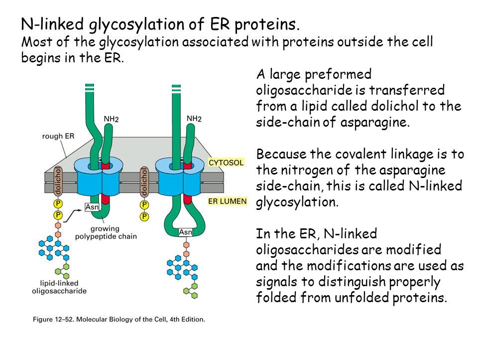 N-linked glycosylation of ER proteins.