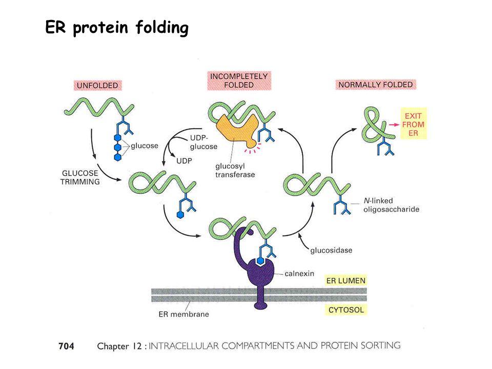 ER protein folding