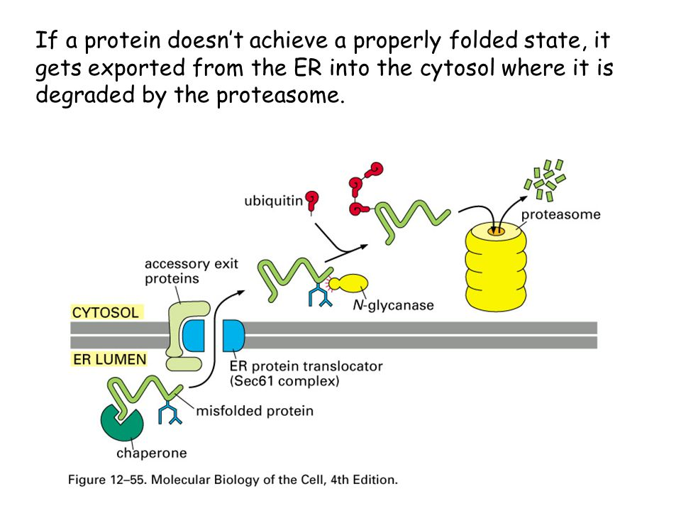 If a protein doesn't achieve a properly folded state, it gets exported from the ER into the cytosol where it is degraded by the proteasome.