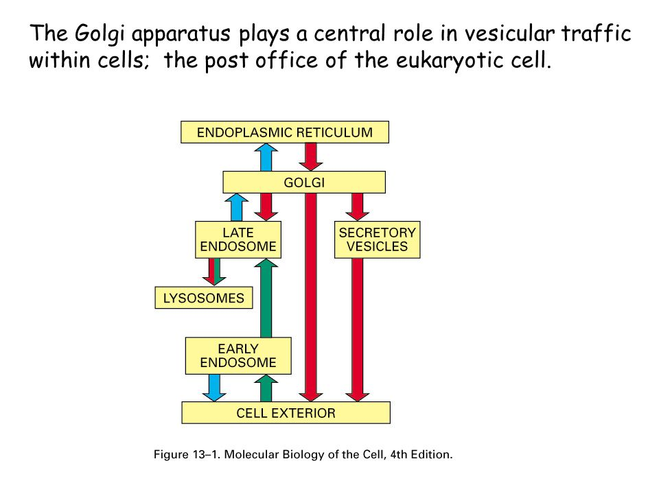 The Golgi apparatus plays a central role in vesicular traffic