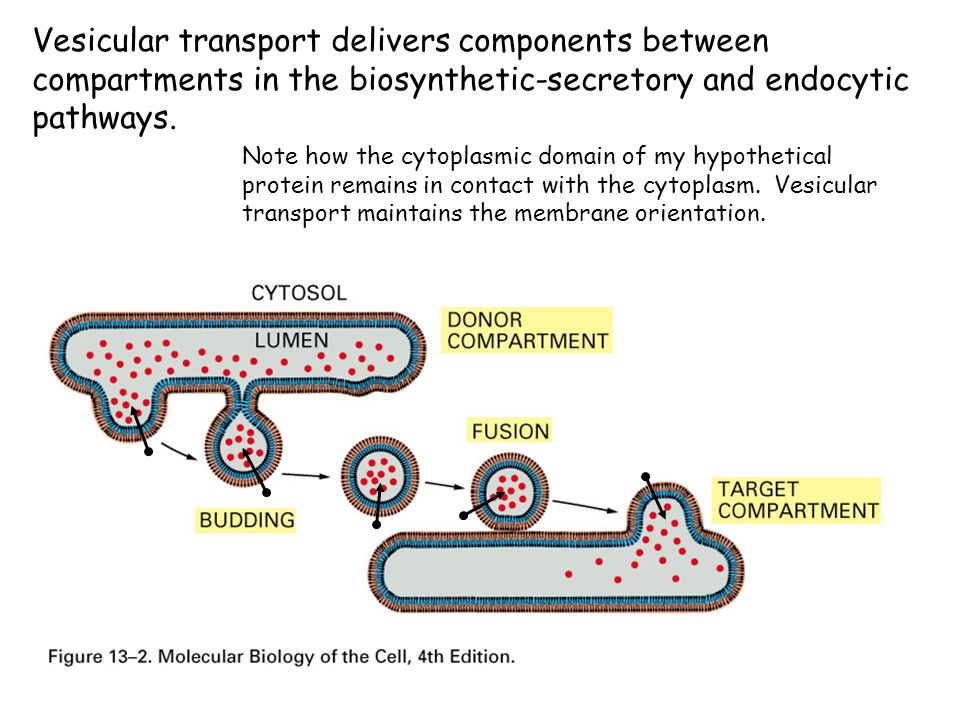 Vesicular transport delivers components between compartments in the biosynthetic-secretory and endocytic pathways.