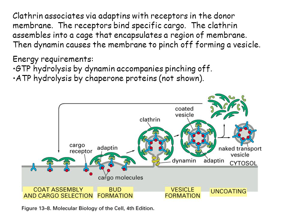 Clathrin associates via adaptins with receptors in the donor membrane