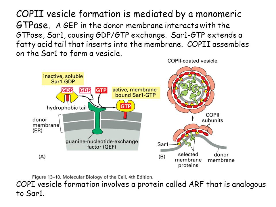 COPII vesicle formation is mediated by a monomeric GTPase
