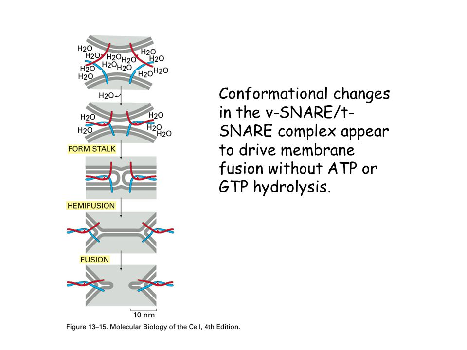 Conformational changes in the v-SNARE/t-SNARE complex appear to drive membrane fusion without ATP or GTP hydrolysis.