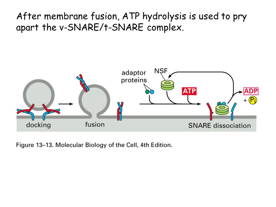 After membrane fusion, ATP hydrolysis is used to pry apart the v-SNARE/t-SNARE complex.