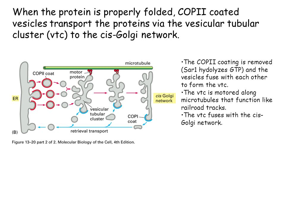 When the protein is properly folded, COPII coated vesicles transport the proteins via the vesicular tubular cluster (vtc) to the cis-Golgi network.