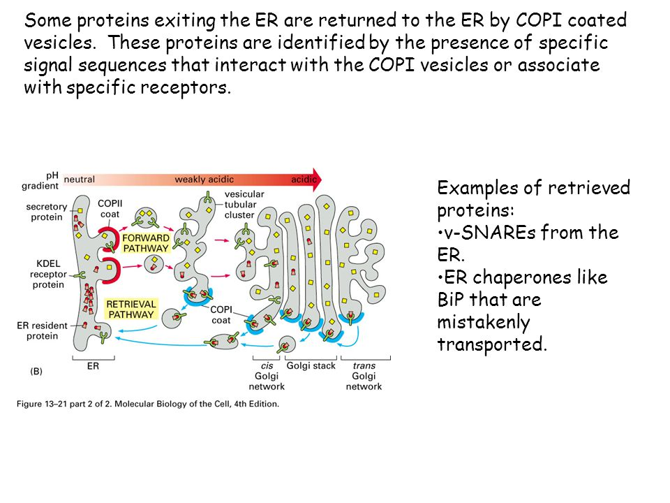 Some proteins exiting the ER are returned to the ER by COPI coated vesicles. These proteins are identified by the presence of specific signal sequences that interact with the COPI vesicles or associate with specific receptors.