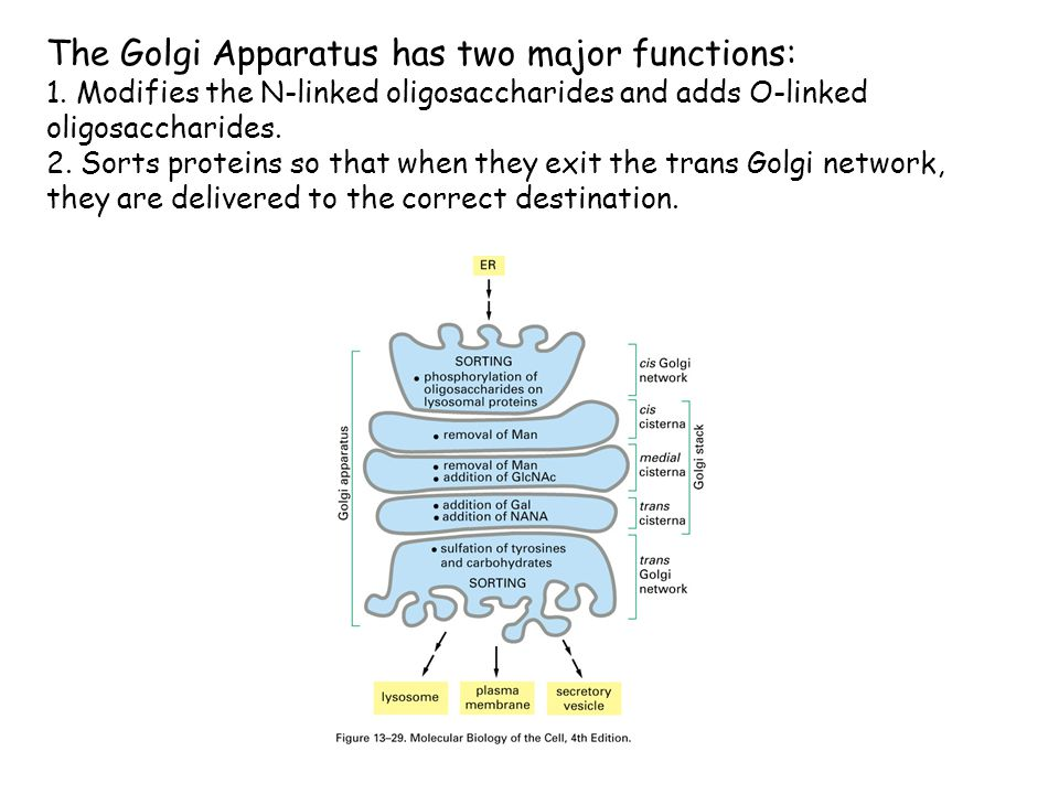 The Golgi Apparatus has two major functions: