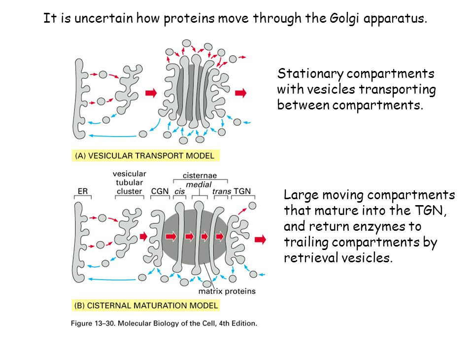 It is uncertain how proteins move through the Golgi apparatus.