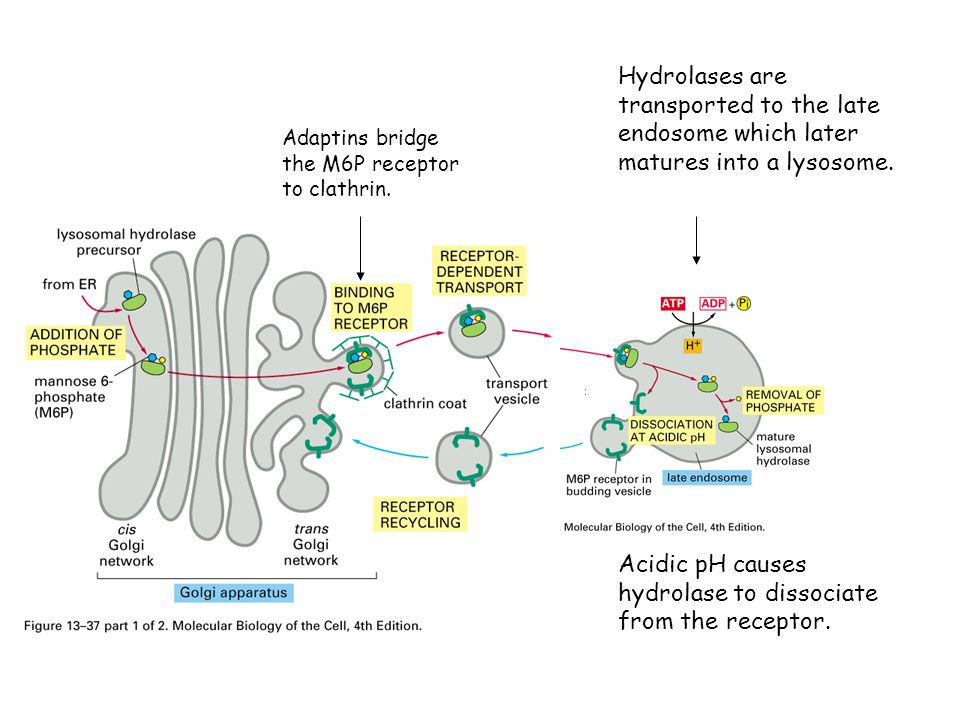 Acidic pH causes hydrolase to dissociate from the receptor.
