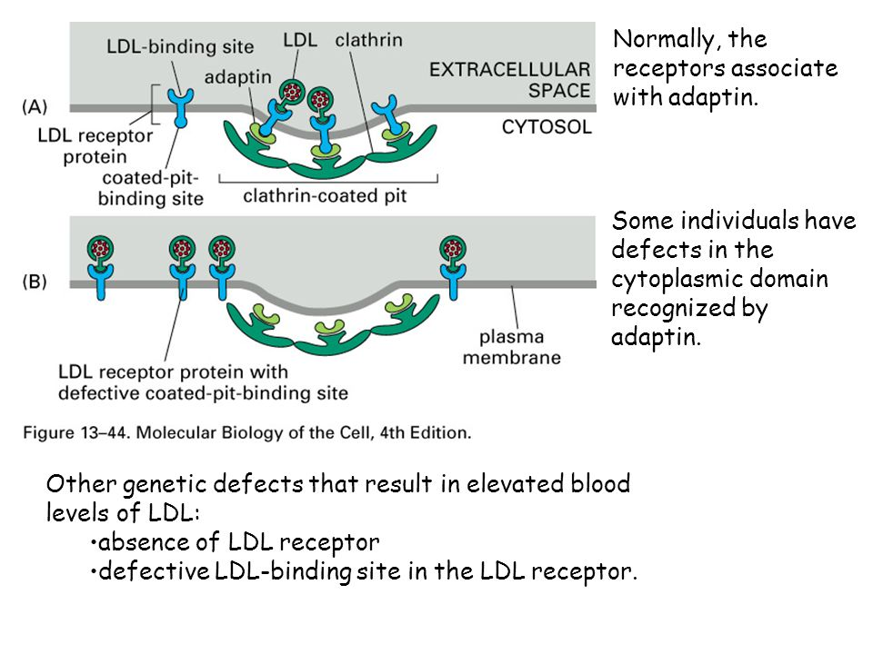 Normally, the receptors associate with adaptin.