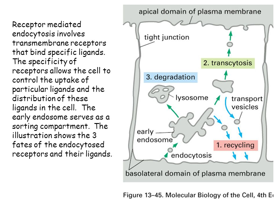 Receptor mediated endocytosis involves transmembrane receptors that bind specific ligands.
