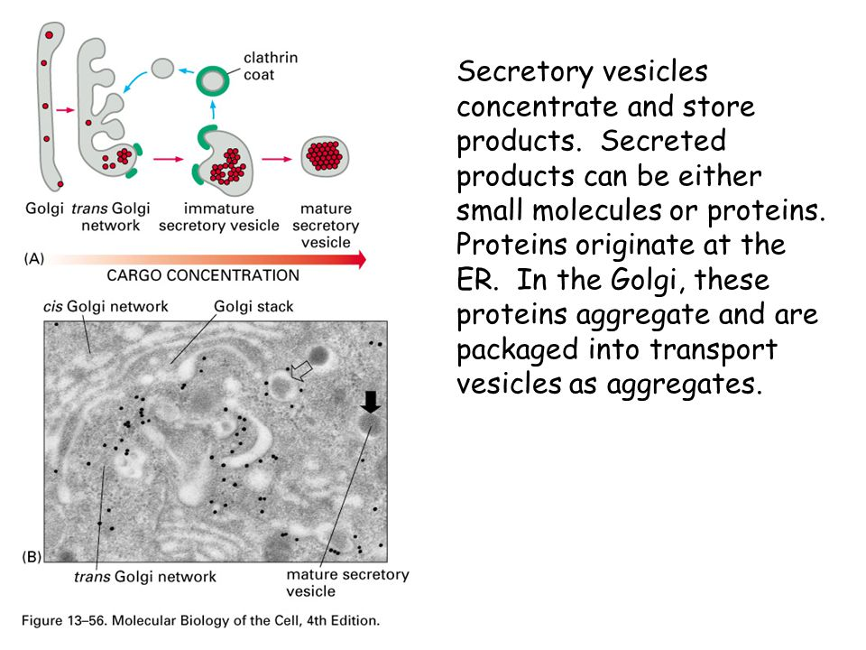 Secretory vesicles concentrate and store products