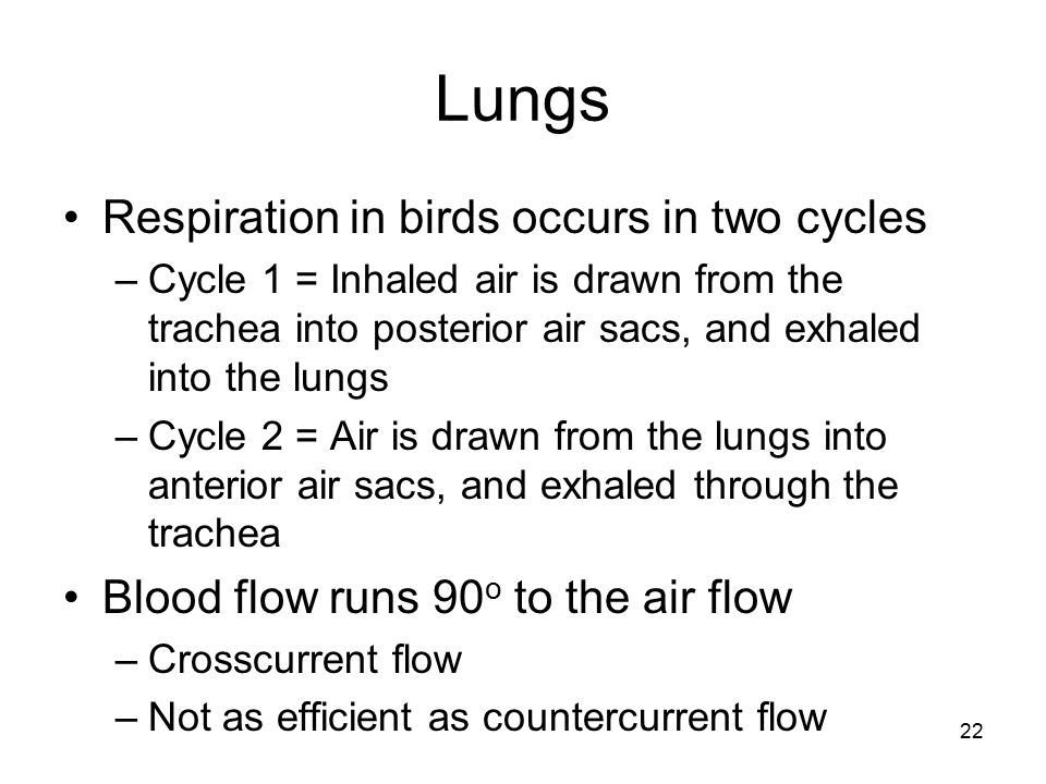 Lungs Respiration in birds occurs in two cycles