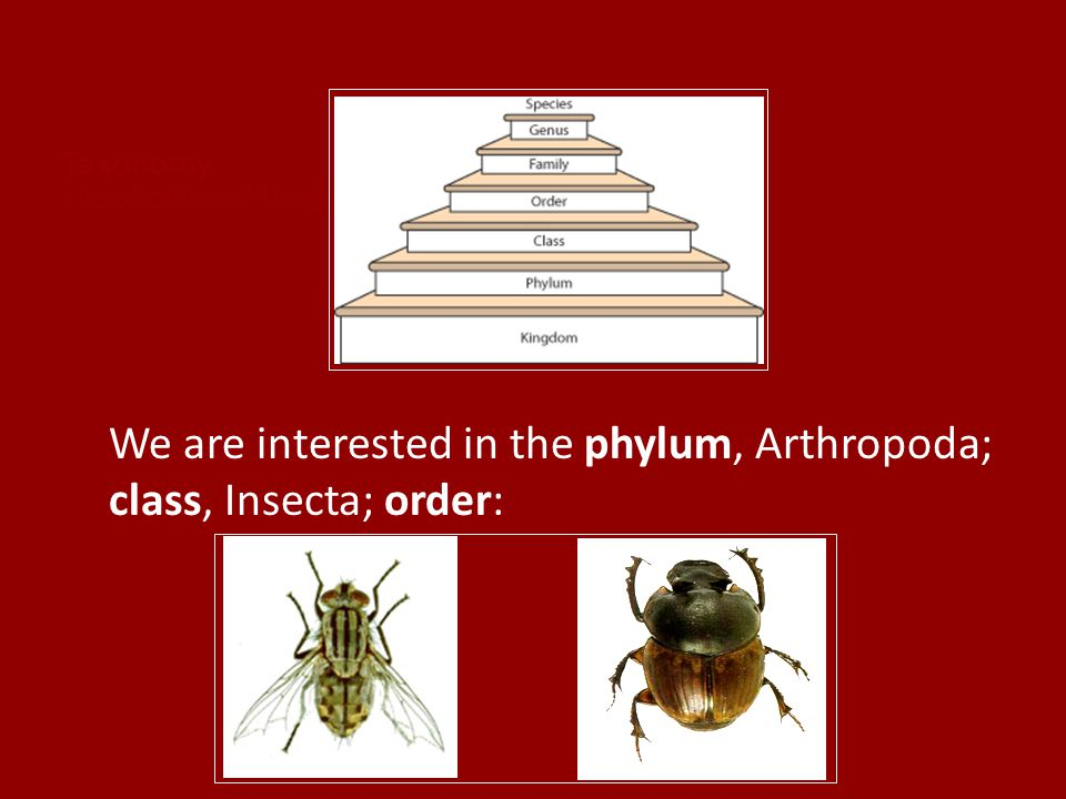We are interested in the phylum, Arthropoda; class, Insecta; order: