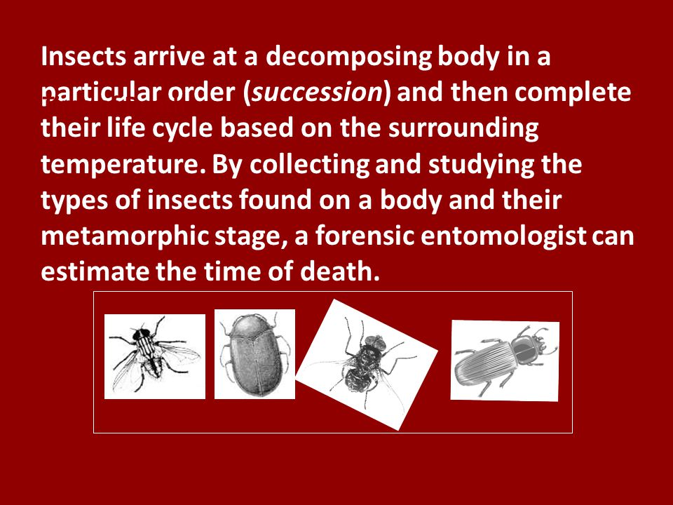 Insects arrive at a decomposing body in a particular order (succession) and then complete their life cycle based on the surrounding temperature. By collecting and studying the types of insects found on a body and their metamorphic stage, a forensic entomologist can estimate the time of death.