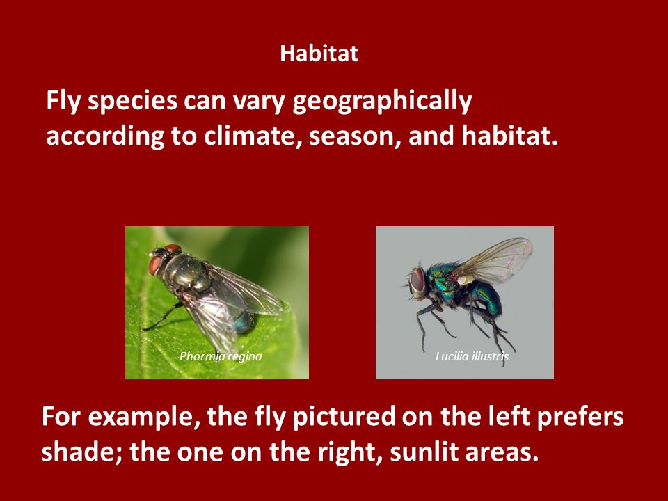 Habitat Fly species can vary geographically according to climate, season, and habitat. Variables Affecting Metamorphosis, continued.