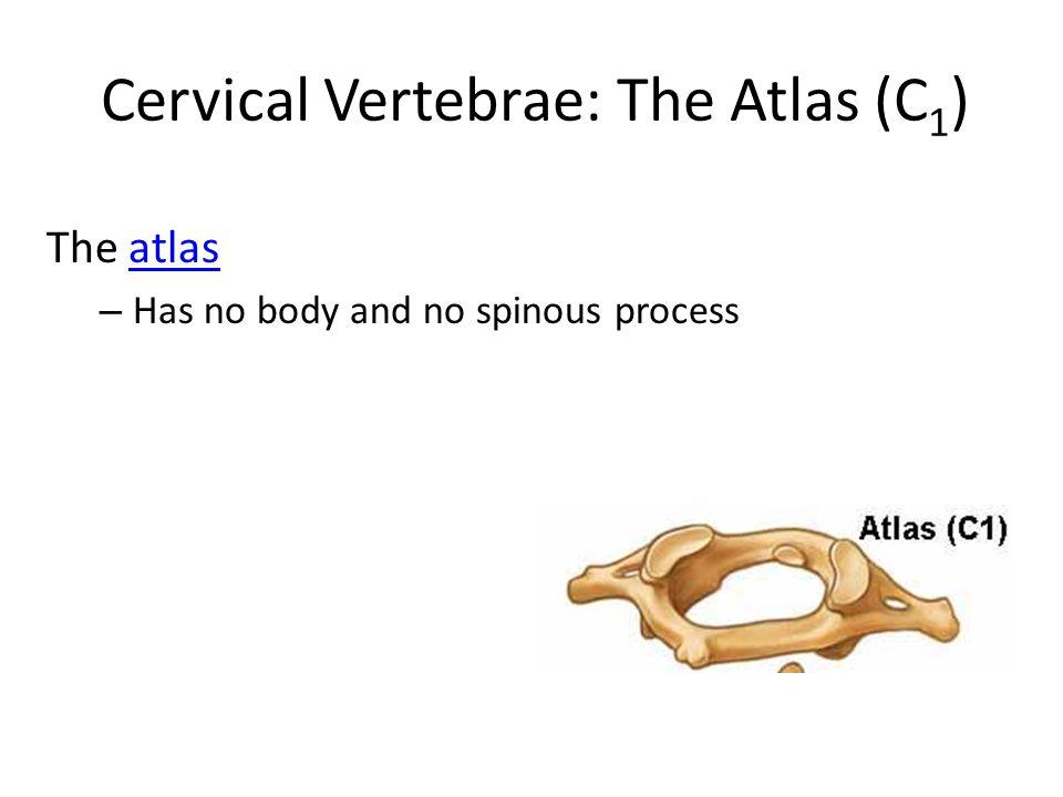 Cervical Vertebrae: The Atlas (C1)