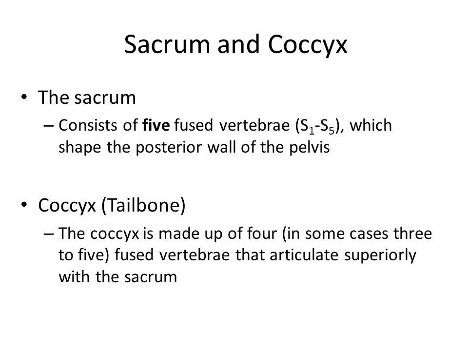 Sacrum and Coccyx The sacrum Coccyx (Tailbone)