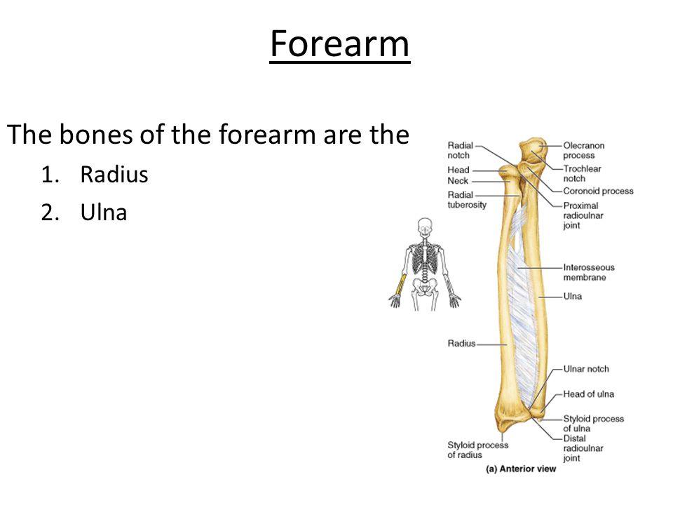 Forearm The bones of the forearm are the Radius Ulna