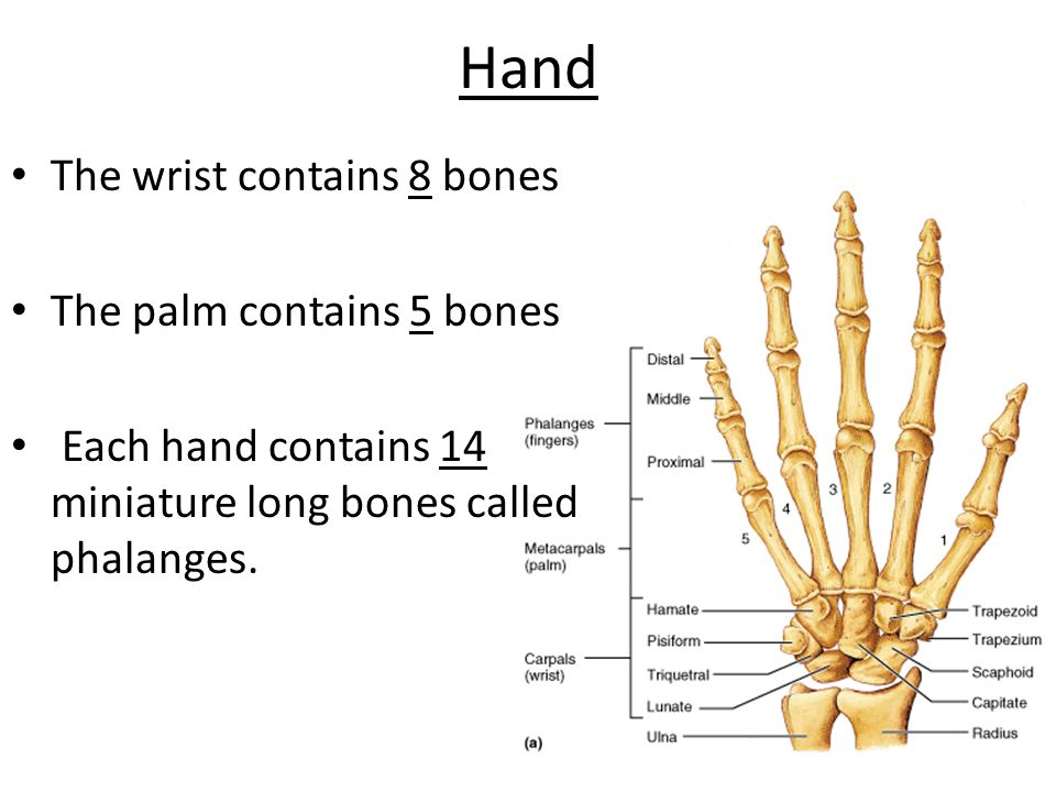 Hand The wrist contains 8 bones The palm contains 5 bones