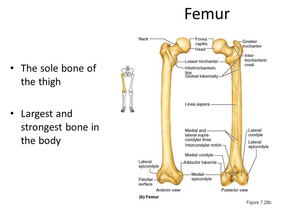 Femur The sole bone of the thigh