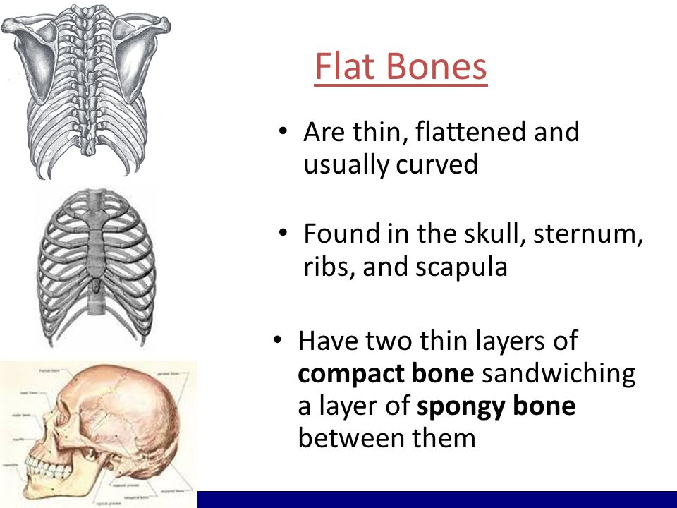 Flat Bones Are thin, flattened and usually curved