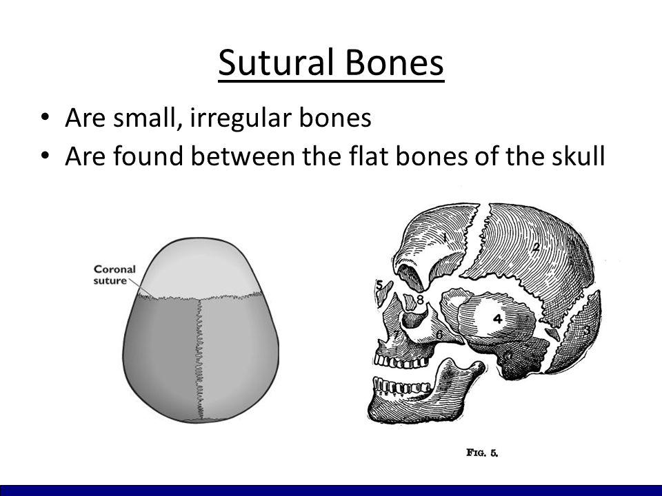 Sutural Bones Are small, irregular bones