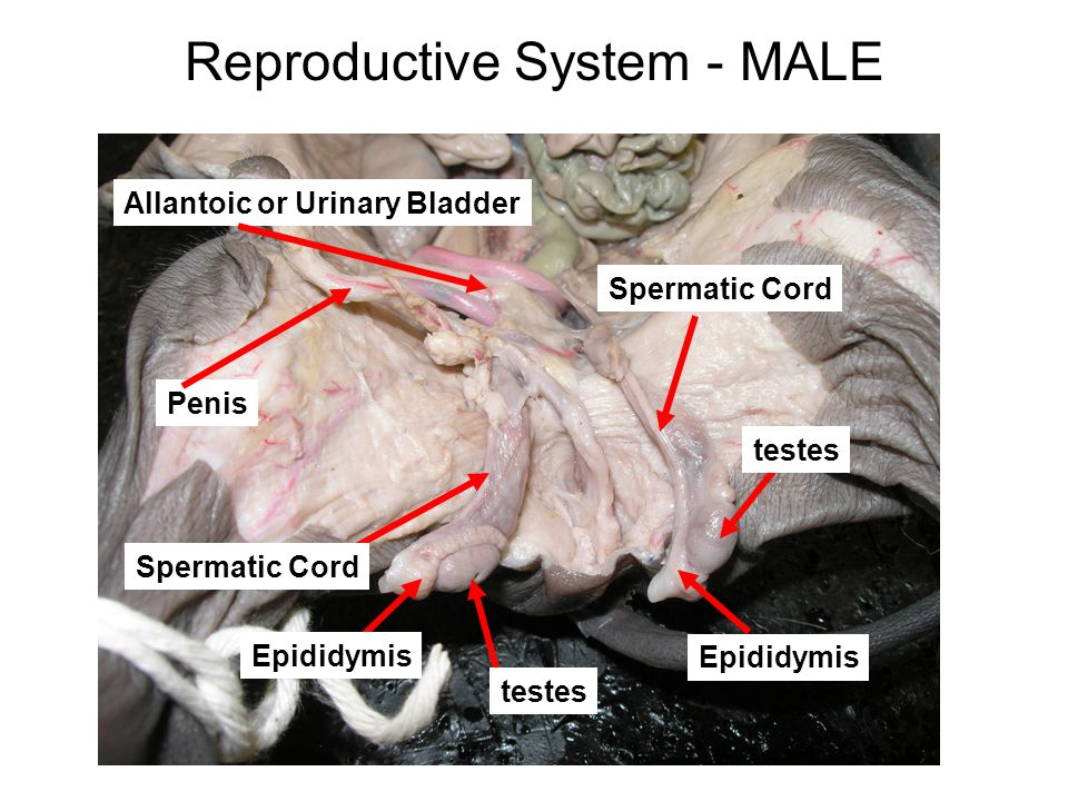 Reproductive System - MALE