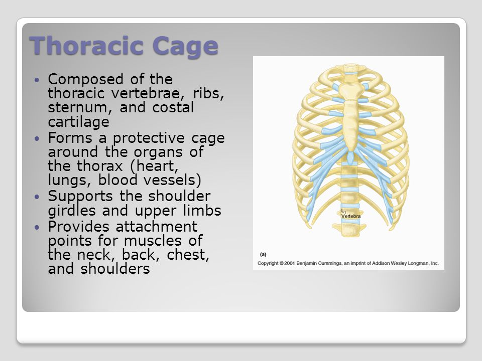 Thoracic Cage Composed of the thoracic vertebrae, ribs, sternum, and costal cartilage.