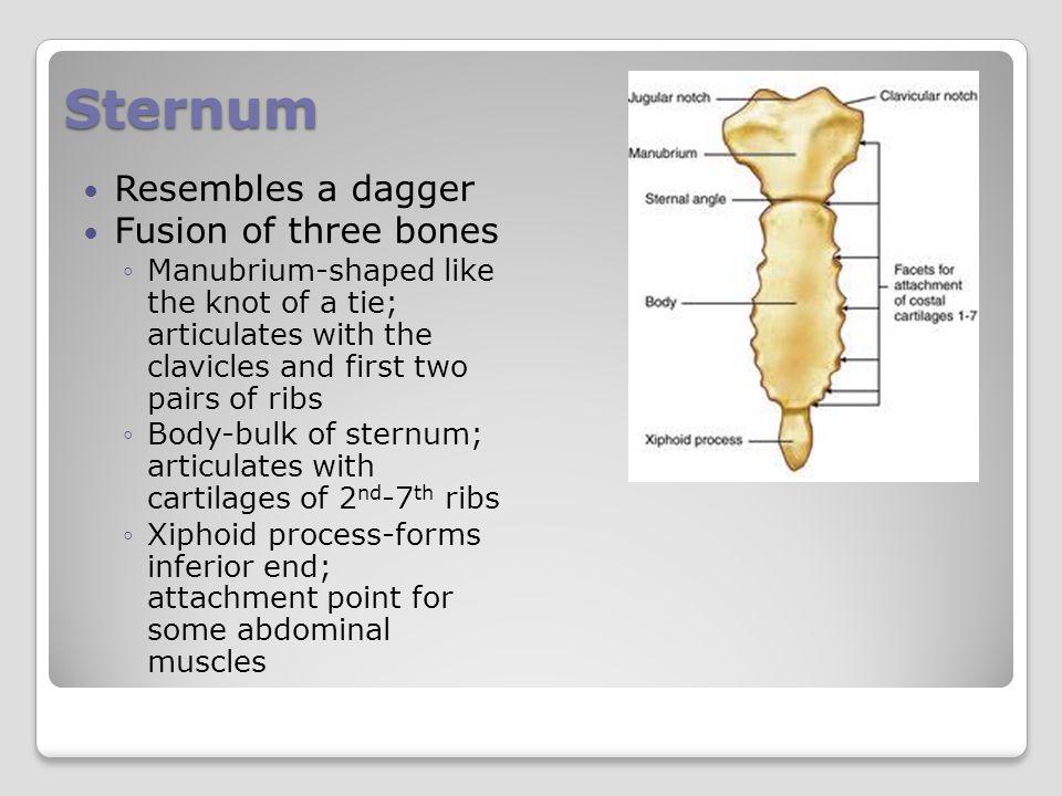 Sternum Resembles a dagger Fusion of three bones
