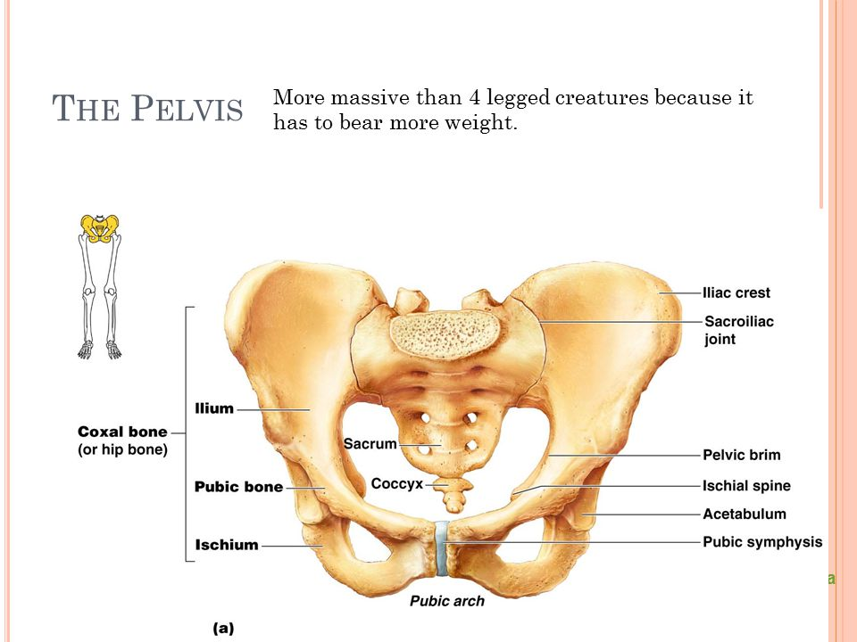 The Pelvis More massive than 4 legged creatures because it has to bear more weight. Figure 5.24a