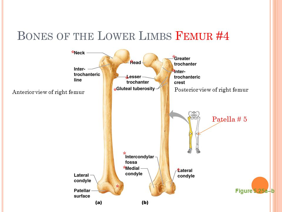 Bones of the Lower Limbs Femur #4
