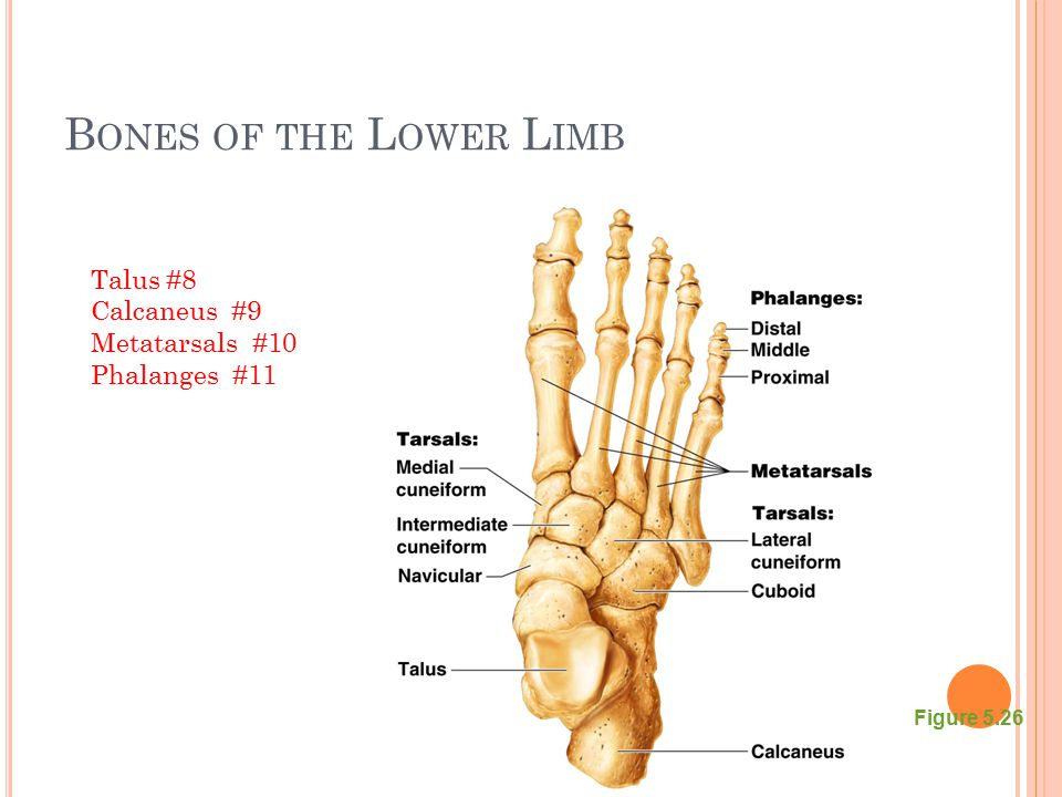 Bones of the Lower Limb Talus #8 Calcaneus #9 Metatarsals #10