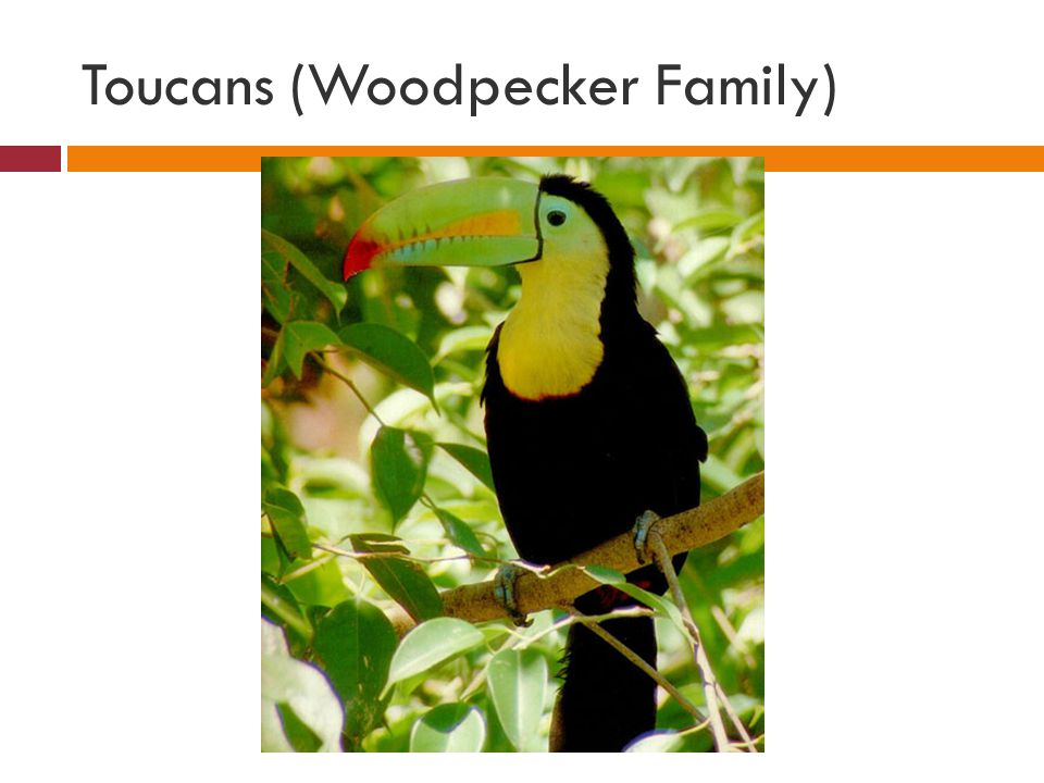 Toucans (Woodpecker Family)