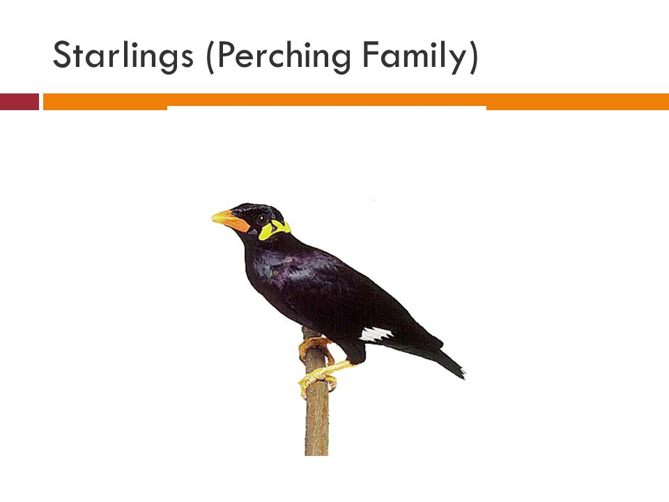 Starlings (Perching Family)