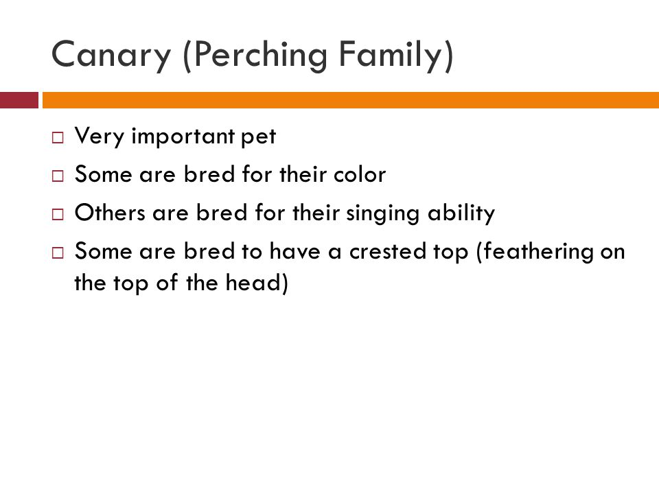 Canary (Perching Family)